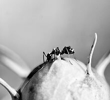 Ant on a Peony by leifrogers