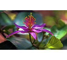 Grewia Oxidentalis (Lavender Starflower) Photographic Print