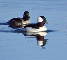 Bufflehead Ducks by lorilee