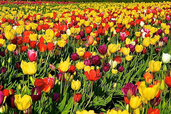 Wooden Shoe Tulip Fields by Cee Neuner