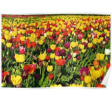 Wooden Shoe Tulip Fields Poster