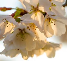 Cherry Blossoms Closeup by mkurec