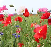 Poppy Field 512B by Cecilia Carr