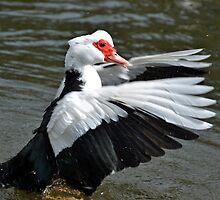 Muscovy Duck............ by lynn carter