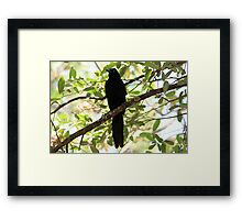 Great-Tailed Grackle Framed Print