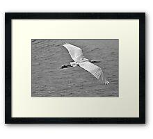 Great Egret Flyby Framed Print