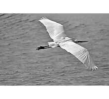 Great Egret Flyby Photographic Print