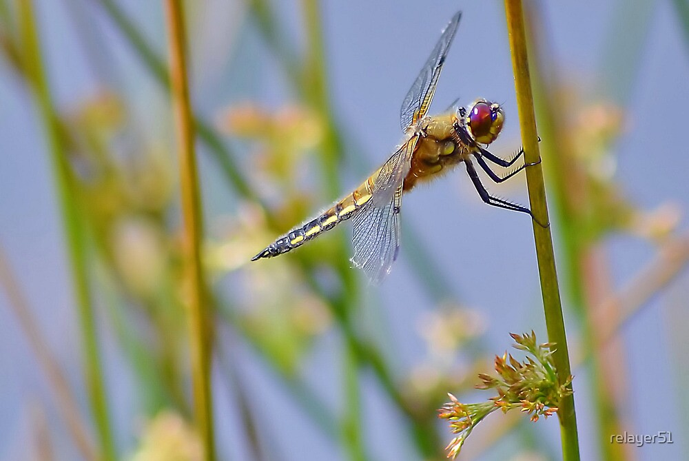 Broad -bodied female Dragonfly   [ PVL ] by relayer51