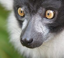 Black-and-white ruffed lemur by Lindie Allen