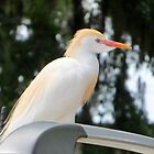 Cattle Egret by AuntDot