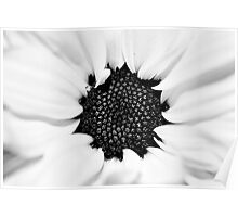 Black and White Daisy Study Poster