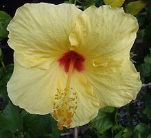 Bright yellow Hawaii hibiscus flower print by artisticattitud