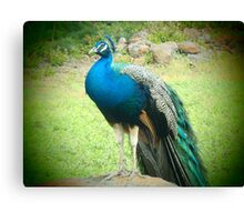 Bright colorful peacock scenic print Canvas Print