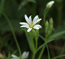 Greater Stitchwort by Sue Robinson