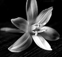 STAR OF BETHLEHEM (BLACK AND WHITE) by Sandra  Aguirre