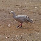 Cape Barren Goose by Margaret  Hyde