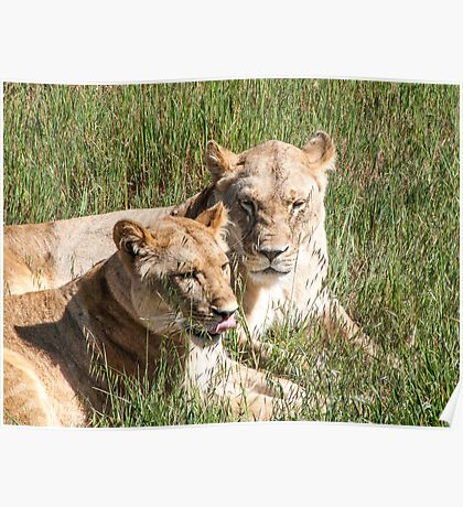 Lionesses resting Poster