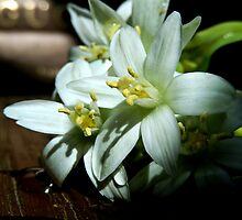 CASTING LIGHT ON STAR OF BETHLEHEM FLOWERS by Sandra  Aguirre