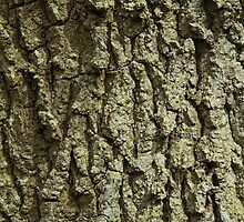 Oak Tree Bark by Sue Robinson