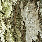 Silver Birch Tree Trunk by Sue Robinson