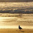Silver Gull, Calverts Beach, Tasmania by Chris Cobern