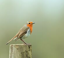 European Robin by Sue Robinson