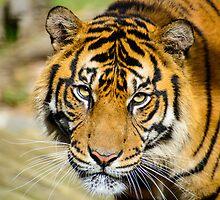 Sumatran Tiger by Steve Randall