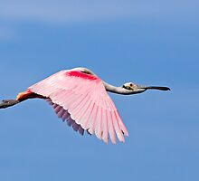Roseate Spoonbill in Flight by Kenneth Keifer