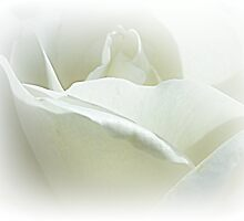 *Iceberg Bush Rose* by EdsMum
