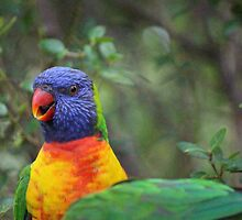 Rainbow Lorikeets by Sue Jaeschke