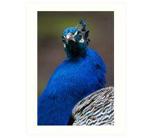 A Stunning Pheasant! Art Print