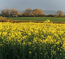 Somerset Rape Field by Alexandra Lavizzari