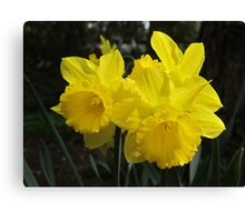 Daffodil Trio Canvas Print
