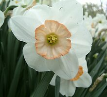 White Daffodil  by michelleshustac