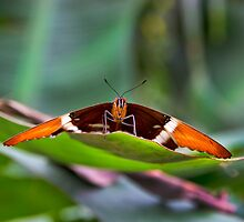Large Mindo Butterfly At Rest by Al Bourassa
