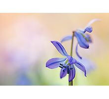 Colorful Scilla siberica (II) Photographic Print