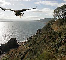 Sea Eagle. Black Isle.  by Sandy Sutherland