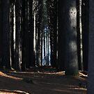 Sugar Pine walk by julie anne  grattan