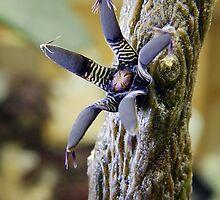 Rhytidocaulon Macrolobum ssp Macrolobum by Linda Gleisser
