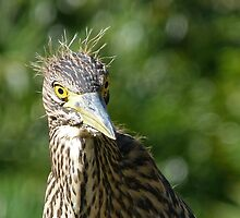 Nankeen Night Heron Junior by Margaret Saheed