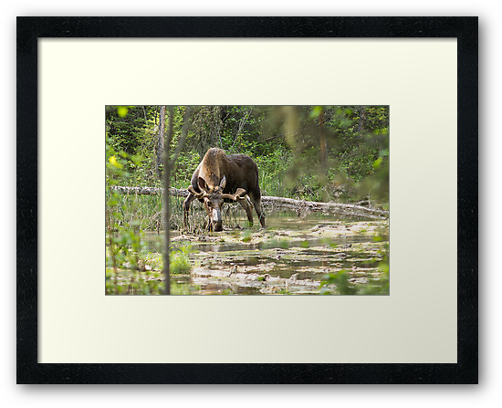 Bull Moose by Nordic-Photo