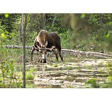 Bull Moose Photographic Print