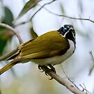 Blue Faced Honeyeater by Nuttee Ratanapiseth