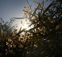 Sunset Wattle  by Katala-Holling