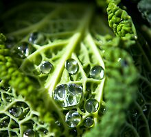 Savoy Cabbage growing in Tasmania by Kelly Slater