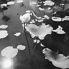 Lotus Pond by tropicalsamuelv