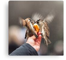 feeding sparrows Canvas Print