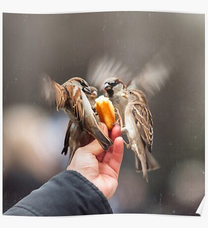 feeding sparrows Poster