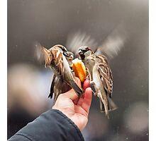 feeding sparrows Photographic Print