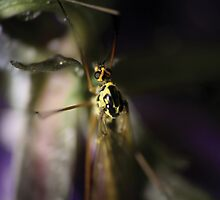 Yellow mosquito © PH. Max Facchinetti  by rootsofriot